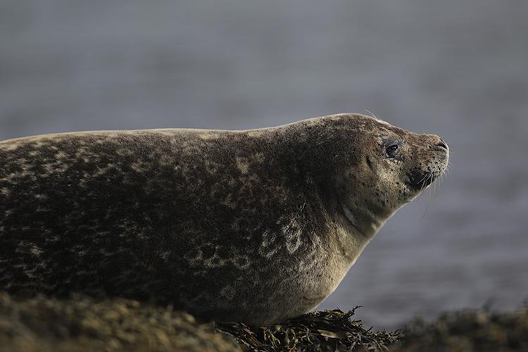 Phoque commun (Islande).