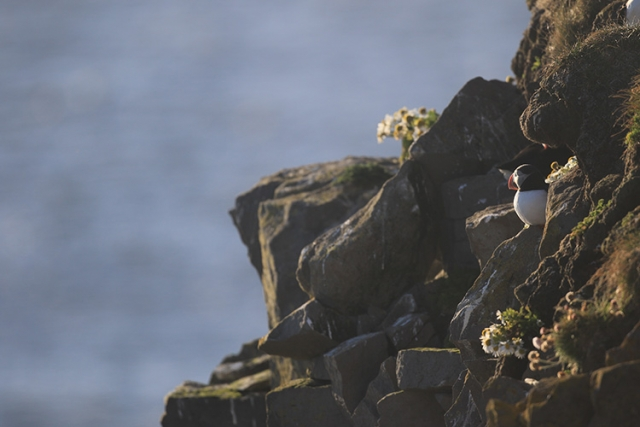 Macareux moine ( Látrabjarg Islande)