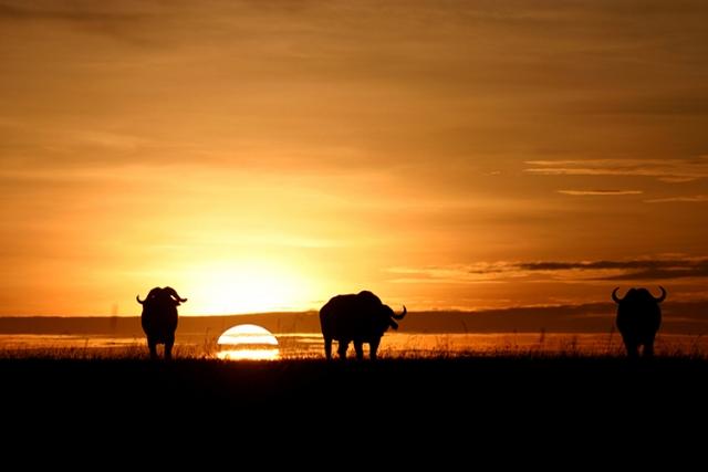 Buffles (Masai mara, Kenya).