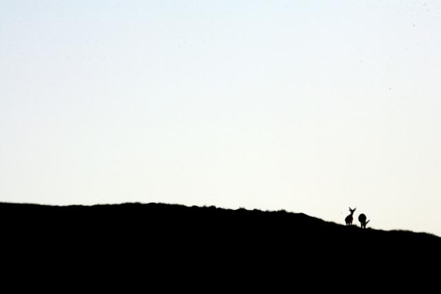 Cerfs élaphes île de Handa (Ecosse).