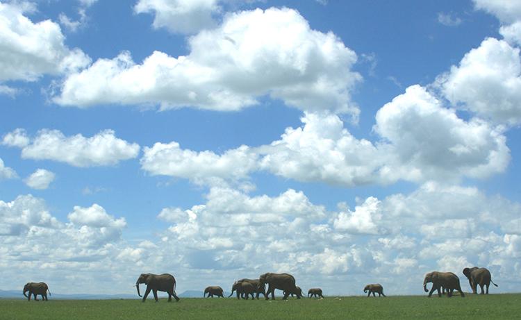 Harde éléphants  (Masai mara , Kenya).