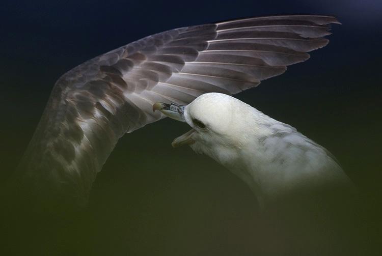 Fulmars, Îles Shetlands (Ecosse).