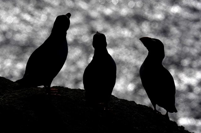 Macareux moines, Îles Shetlands (Ecosse).