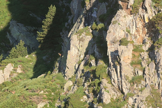 Isard dans son environnement (Pyrénées-Orientales).