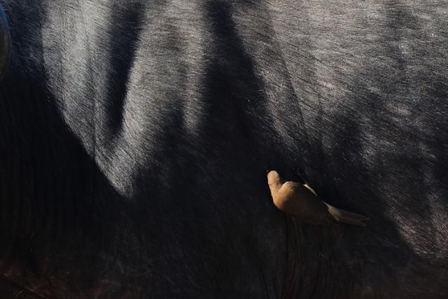 Pique boeuf à bec rouge (Afrique du sud).