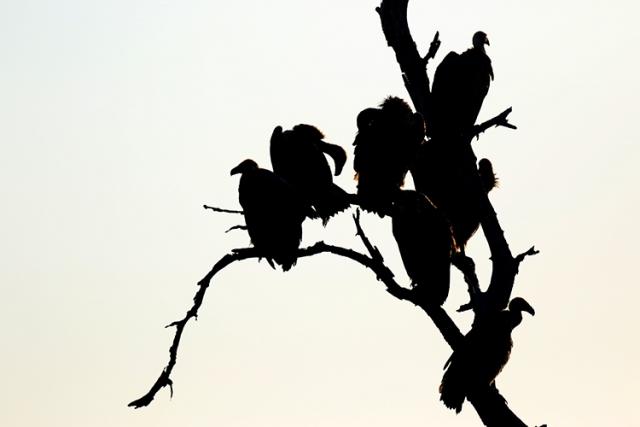 Vautours fauves (Afrique du sud).
