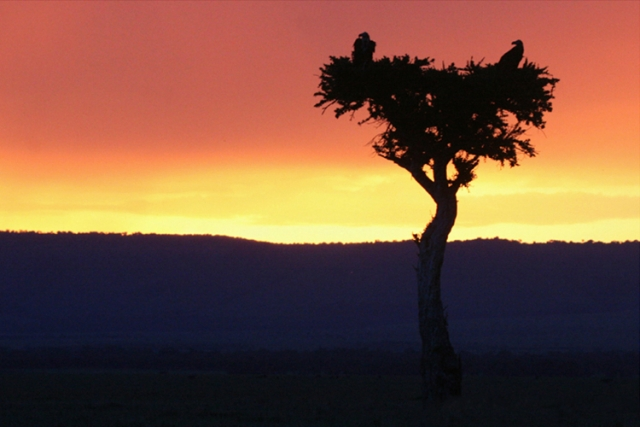 Vautours fauves (Kenya).