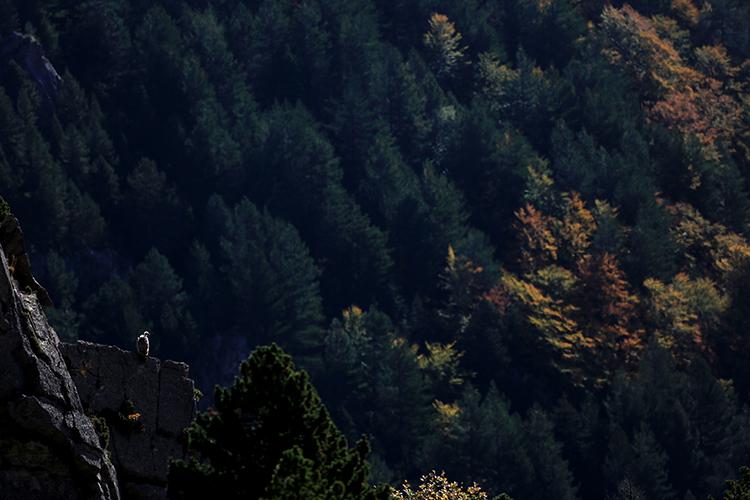 Vautour fauve (Pyrénées-Orientales).