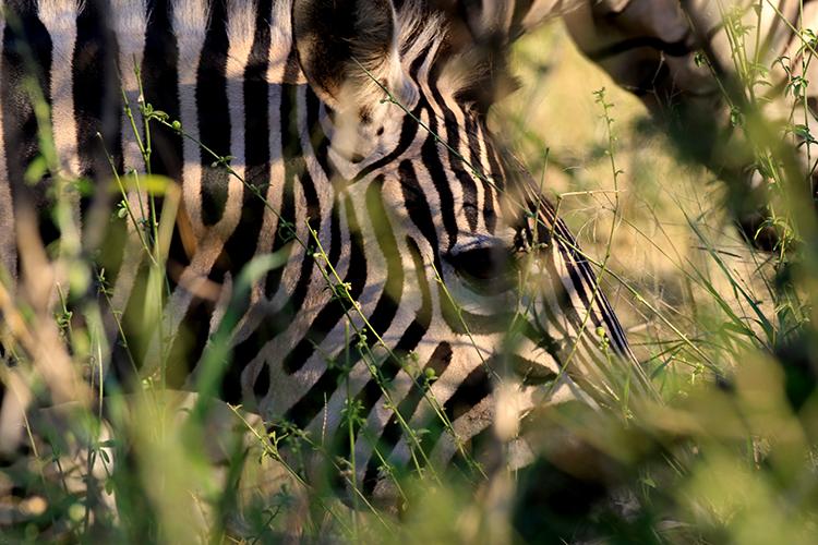 zèbre de Burchell (Afrique du sud).