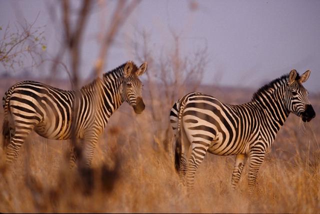 Zèbre de Grant (Tanzanie).