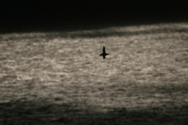 Macareux moine, Îles Shetlands (Ecosse).