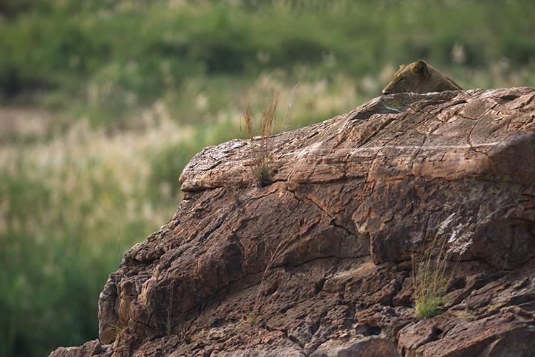 Lionne (Afrique du Sud).