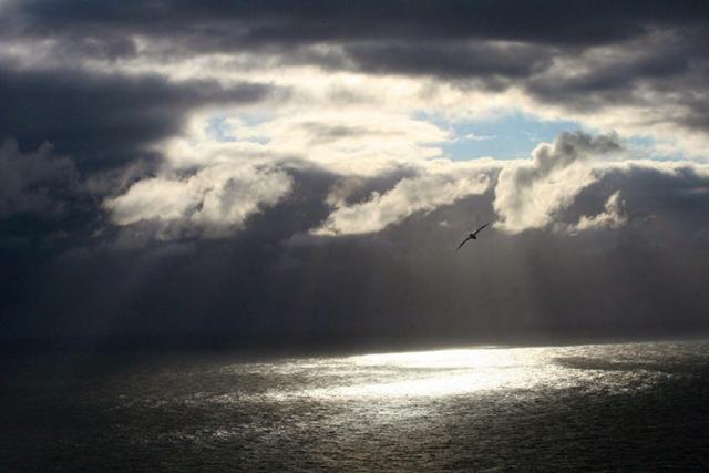 Fous de bassan, Îles Shetlands (Ecosse).