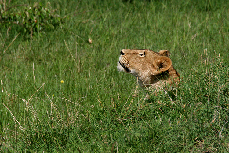 Lionne (Kenya, Masai mara).