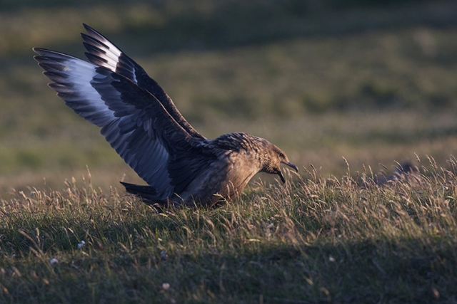 Grand labbe, Îles Shetlands (Ecosse).