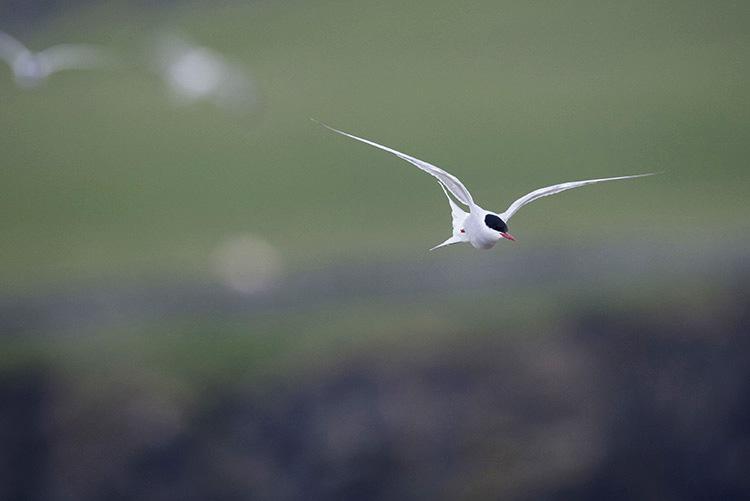 Sterne artique, Îles Shetlands (Ecosse).