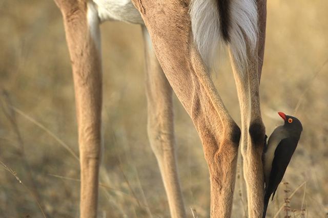 piqueboeuf à bec rouge (Afrique du Sud).