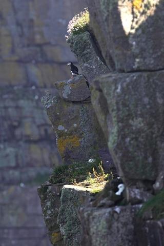 Macareux moine (Ile de Handa, Ecosse).