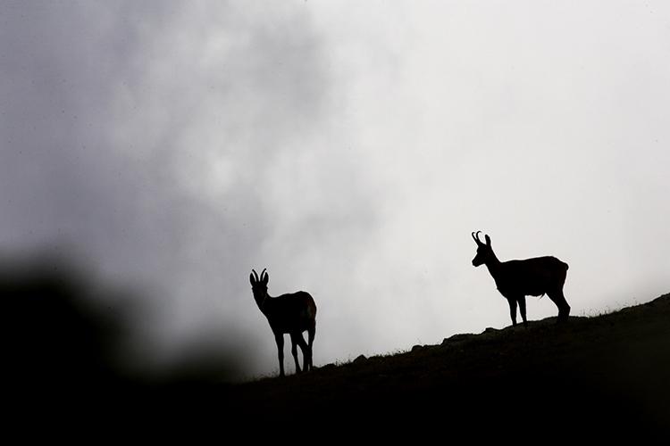 Isards dans la brume dans les Pyrénées-orientales.