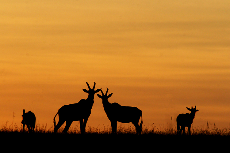 Topis (Masai mara , Kenya).