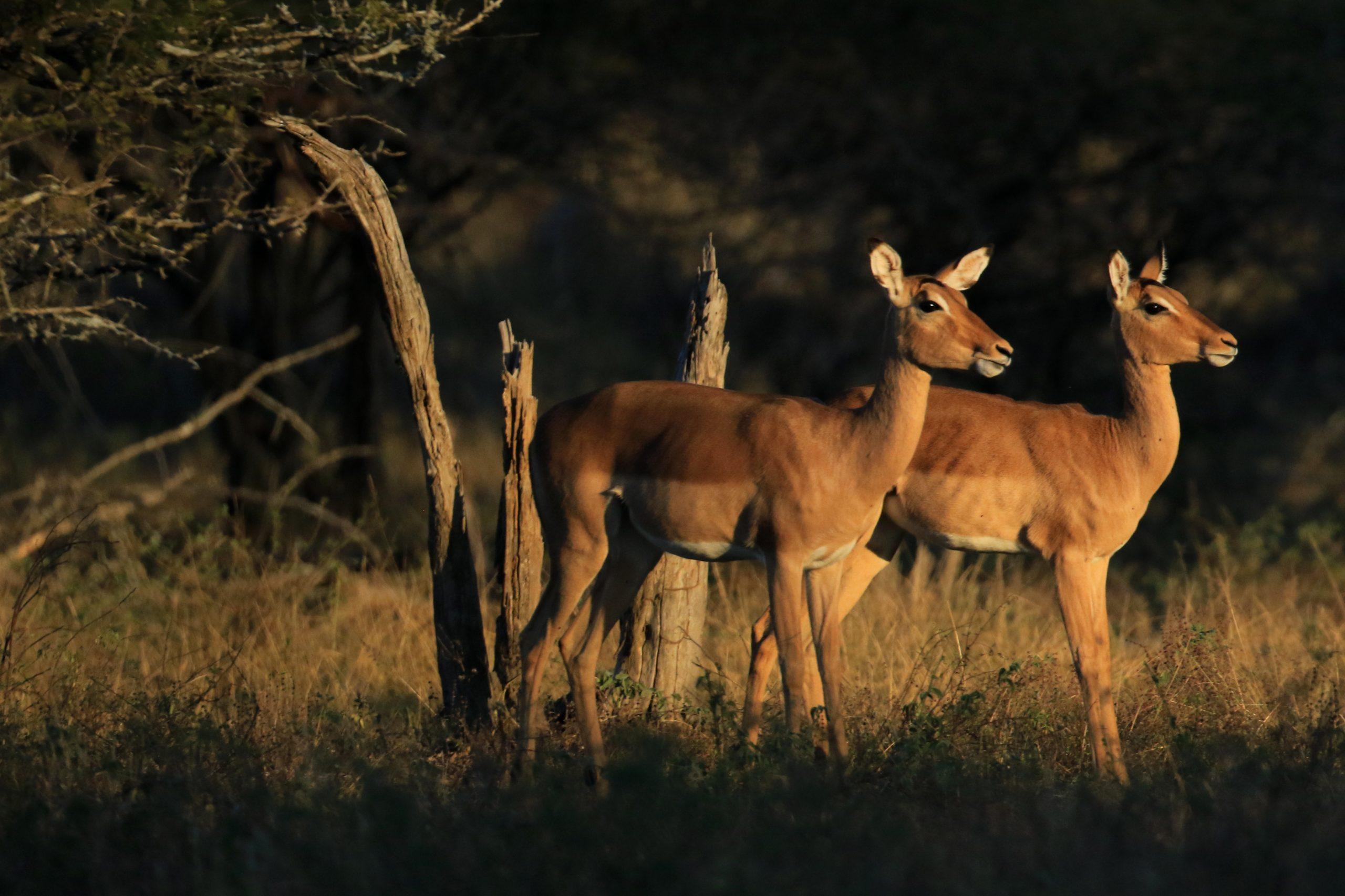 Impalas (Afrique du Sud).