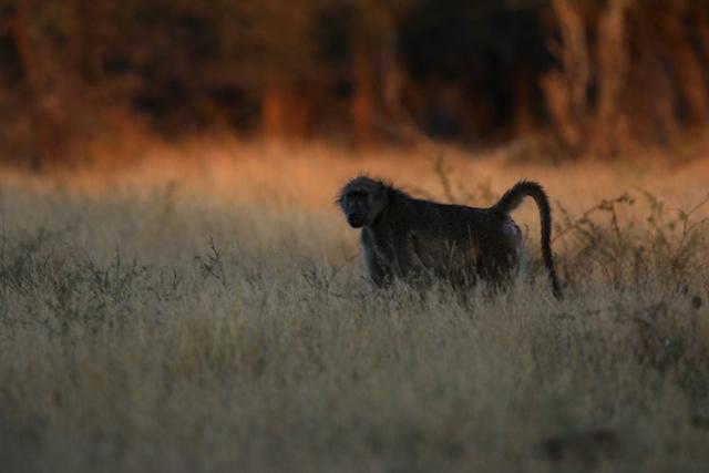 Babouin (Afrique du Sud).