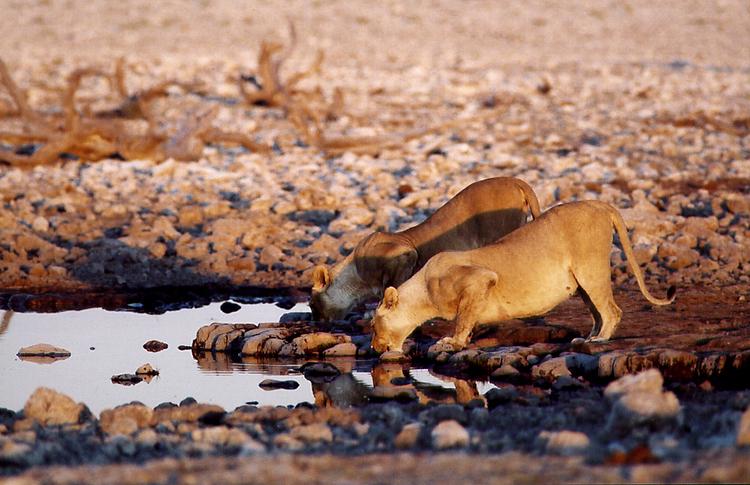 Lionnes (Namibie).