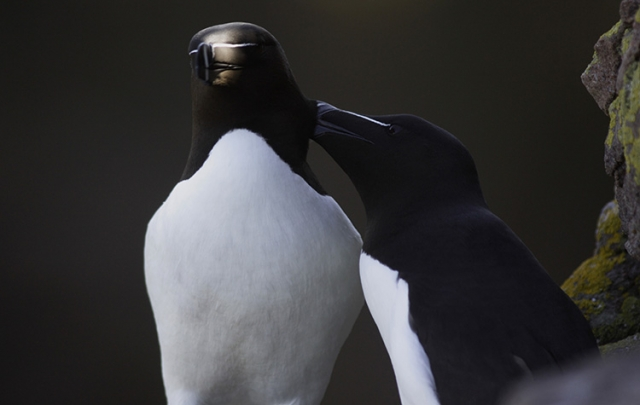 Pingouins torda (Ile de Handa, Ecosse).