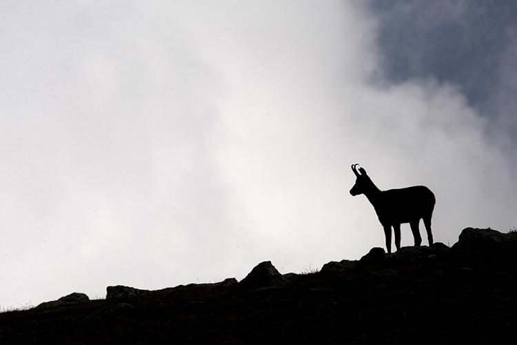 Isard dans la brume du Haut Vallespir (Pyrénées-Orientales).