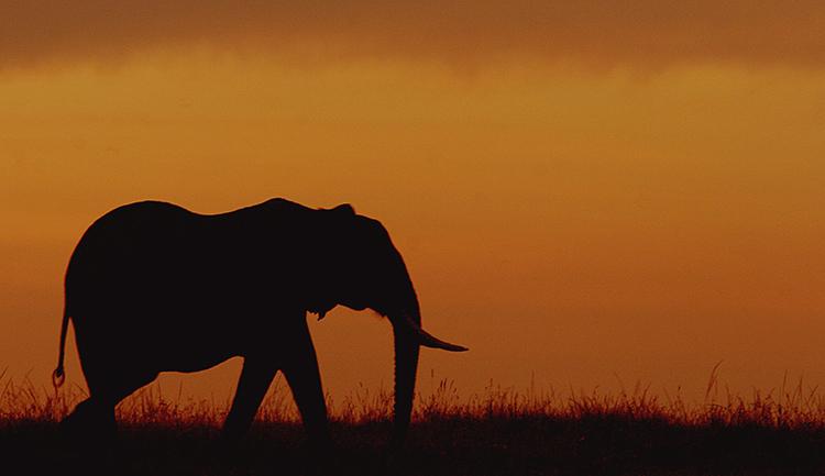 Eléphant d'Afrique  (Masai mara , Kenya).