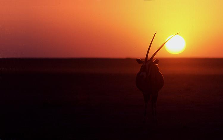 Oryx (Namibie).