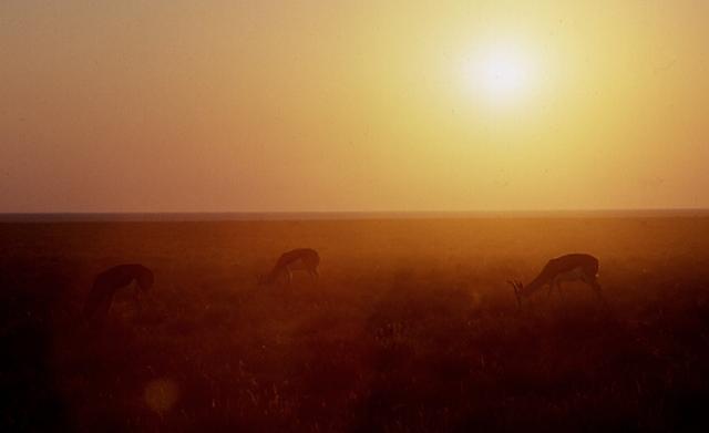 Sprinbocks (Namibie).