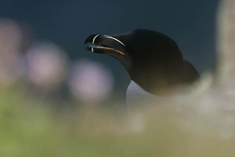 Pingouin torda (Ile de Handa, Ecosse).