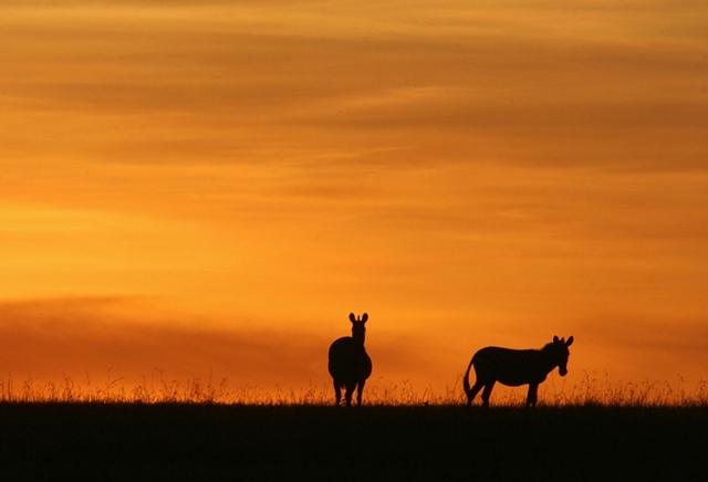 Zèbres de Grant (Masai mara , Kenya).