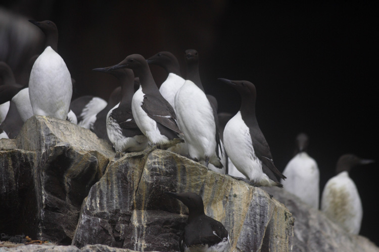 Guillemots (Ile de Bass Rock, Ecosse).