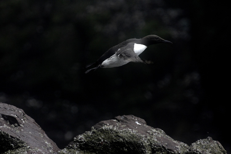 Guillemot (Ile de Bass Rock, Ecosse).