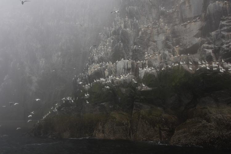Fous de bassan (Ile de Bass Rock, Ecosse).