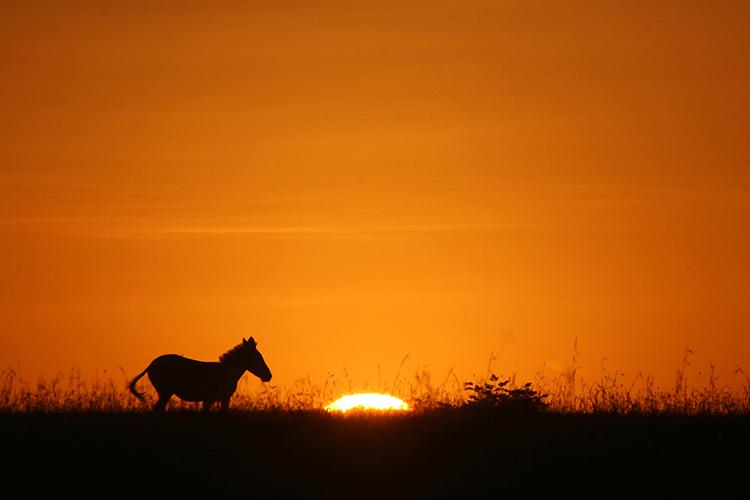 Zèbre de Grant (Masai mara , Kenya).