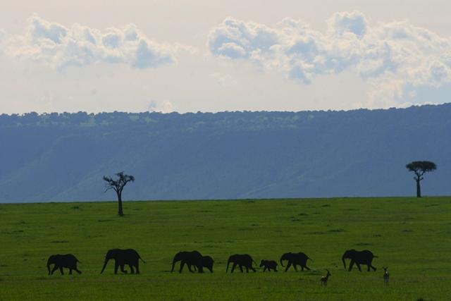 Harde d'éléphants  (Masai mara , Kenya).