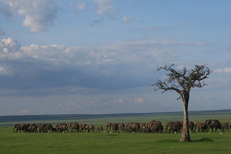 Eléphants en marche (Masai mara , Kenya).