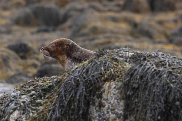 Phoque commun (Ile de Skye, Ecosse).