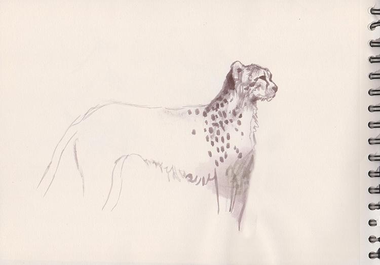 Croquis de guépard.