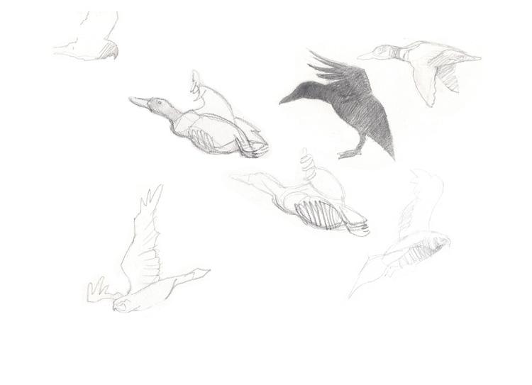 Croquis canards colverts et busard des roseaux.