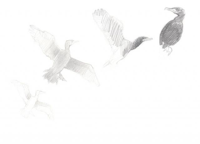 Croquis de cormorans