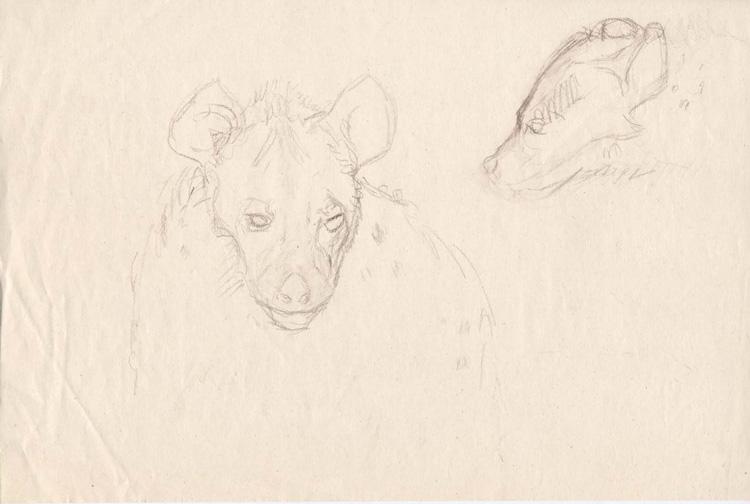 Croquis de hyènes.